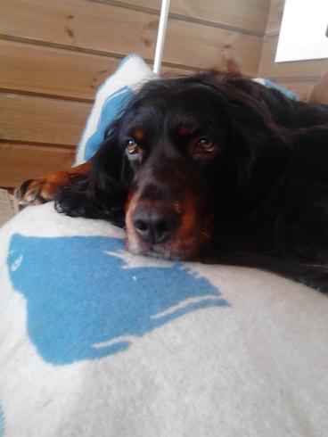 Hver gang vi pakker for å dra fra hytta, ligger Sasha og sørger innerst i sofaen ;)