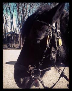 Emir, yndlingshesten min som jeg oftest leier. En ung hest som er litt bøllete, men snill som et lam :) .