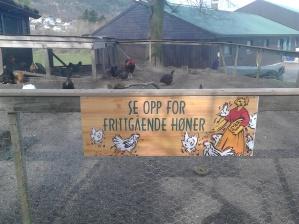 Frittgående høns, og ender