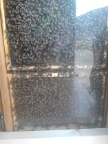 Veldig, veldig mange bier som skal slippes i sommer