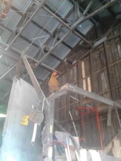 Hønemor høyt oppe i fôrrommet