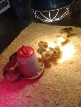 Fire dager gamle kyllinger, til å spise opp (uheldig ordvalg :p ?) !