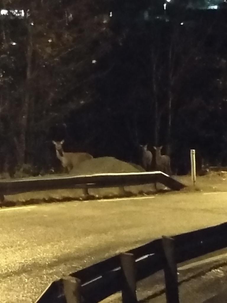 Tre hjort ser mot kamera fra andre siden av en landevei opplyst av gatelyktene.